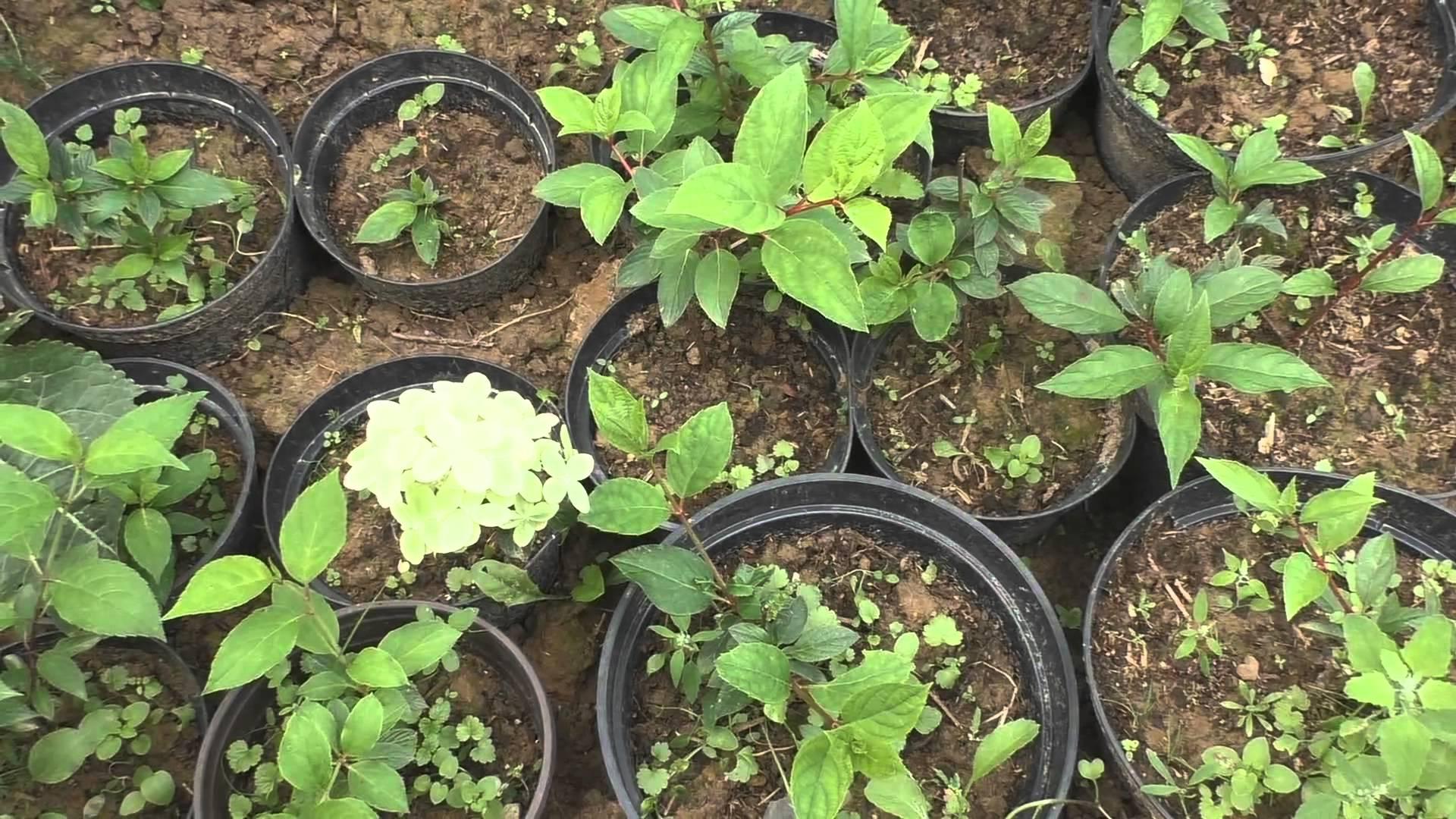Причины плохого роста и цветения чубушника в открытом грунте и после пересадки