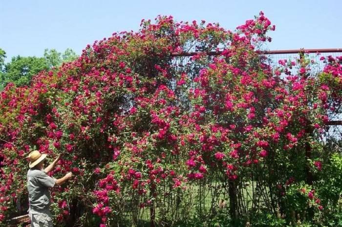 Описание травянистого пиона генри бокстос: уход и посадка на садовом участке