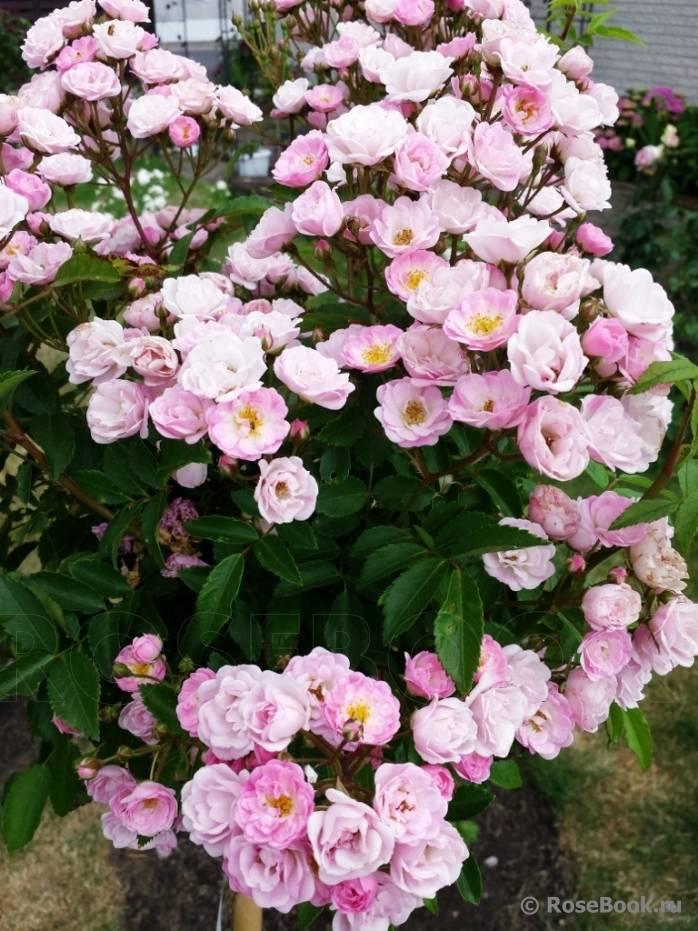 Сорт мускусной розы хэвенли пинк: достоинства непрерывно цветущего цветка