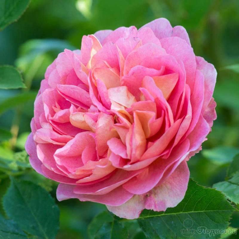 Описание английской розы грэхам томас: особенности сорта, посадка куста и уход