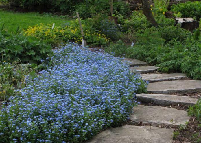 Незабудка- цветок (65 фото): как выглядит? стелющаяся и полевая, лесная и болотная, садовая и другие виды. где она растет? когда сажать семена?