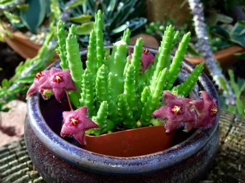 Стапелия цветок: примеры размножения черенками и ухода в домашних условиях