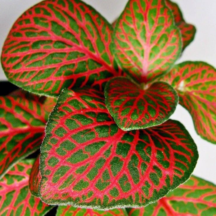 Выращивание фиттонии микс: как посадить, ухаживать, удобрять, размножать, поливать