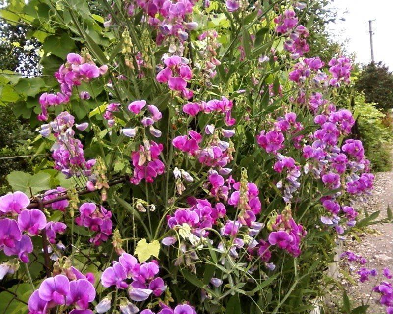 Как вырастить душистый горошек из семян? посадка, фото