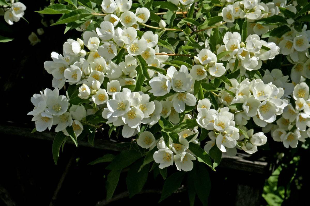 Чубушник махровый (41 фото): сорта жасмина садового, посадка и уход за кустарником в открытом грунте. как размножить черенками?