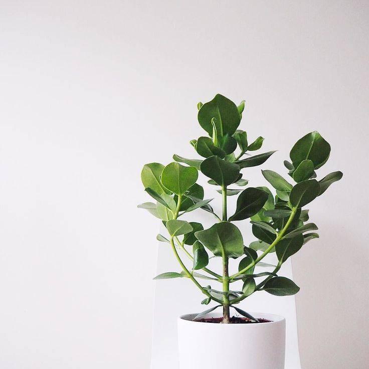 Цветок клузия — уход в домашних условиях