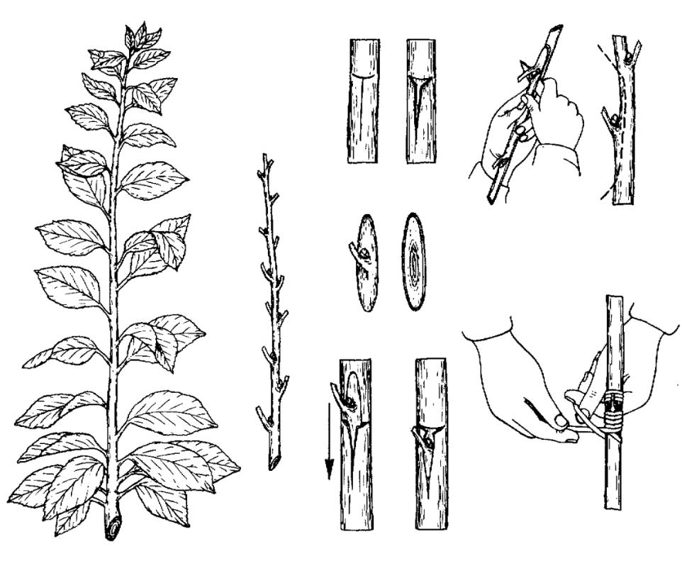 Пионы – размножение