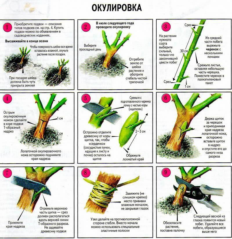 Как защитить селекционные розы от перерождения в кусты шиповника