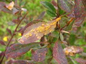 Болезни барбариса — причины возникновения