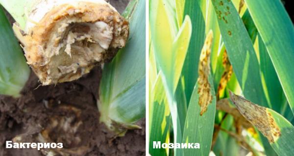У лилии желтеют листья: причины и лечение