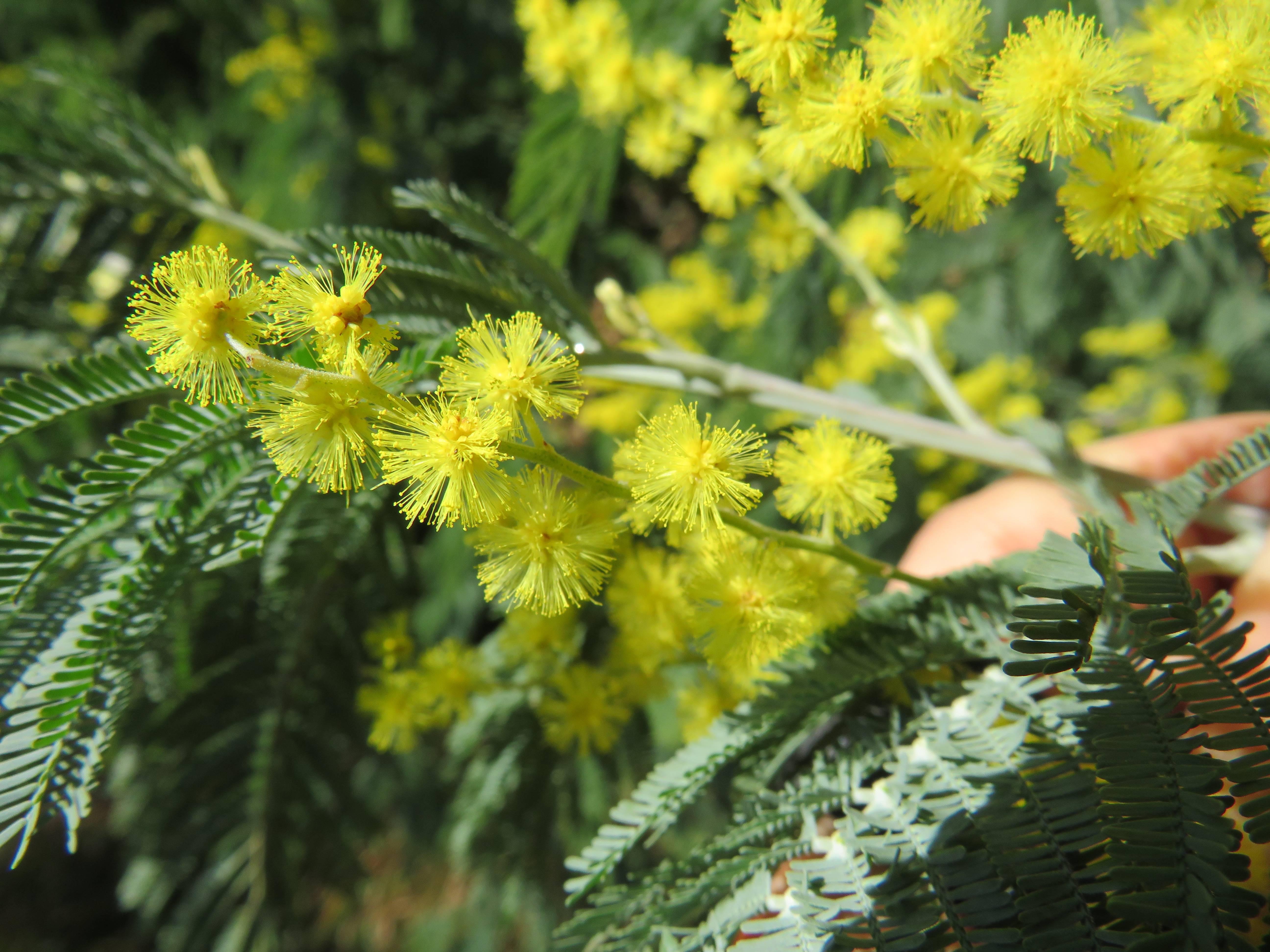 Мимоза хостилис (hostilis) — что за растение
