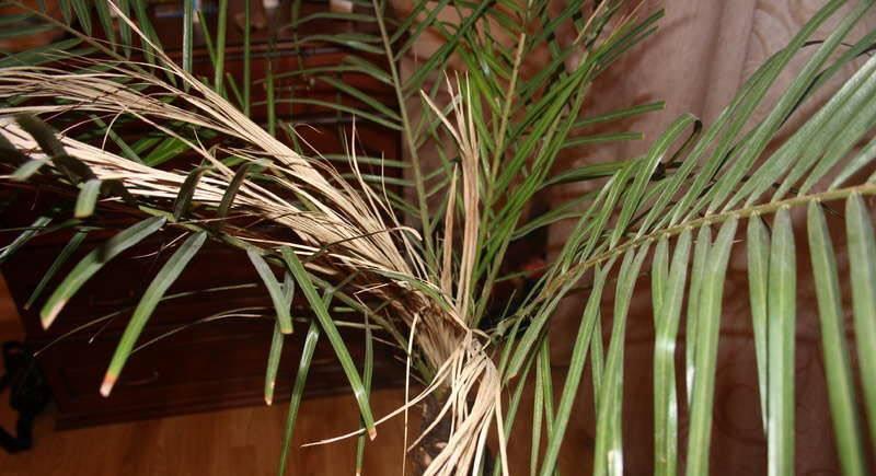 Болезни и проблемы при выращивании пальмы хамедореи. причины засыхания листьев у хамедории хамедорея сохнут листья после пересадки