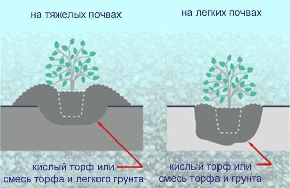 Размножение чубушника отводками, черенками: как правильно делать осенью, летом, весной