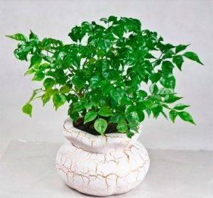 Как растет цветок радермахера