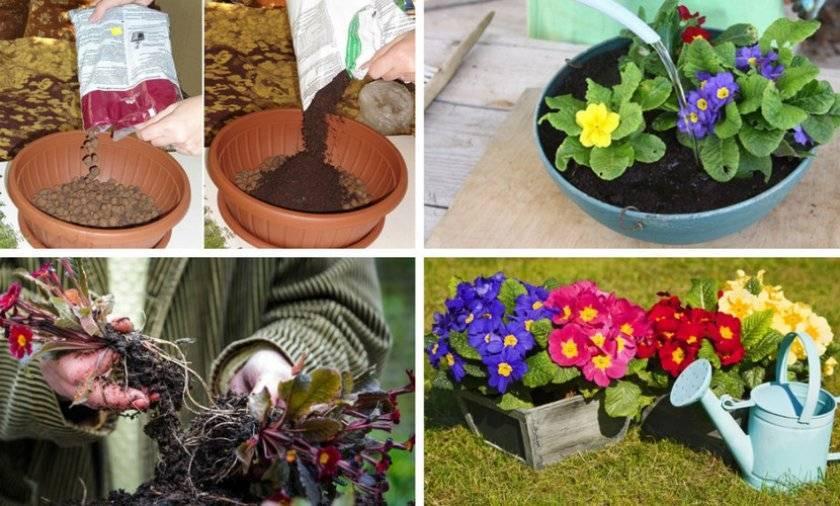 Примула из семян в домашних условиях (49 фото): стратификация семян и посадка на рассаду, советы по выращиванию и хитрости. когда лучше сеять многолетнее растение?