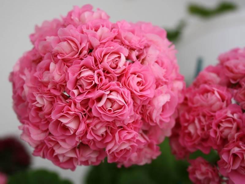О пеларгонии swanland pink, australien pink rosebud (описание, выращивание)
