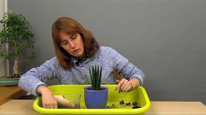 Как посадить щучий хвост?  почва и горшок для тещиного языка