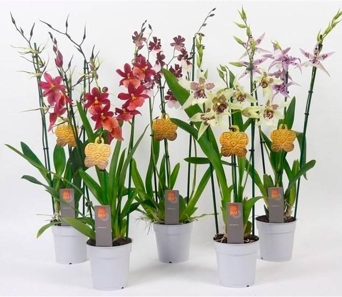 Орхидея камбрия: описание, особенности сорта, правильный уход