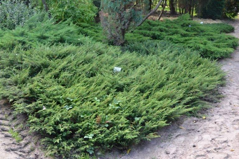 Можжевельник — кустарник или дерево, как его размножить и рассадить