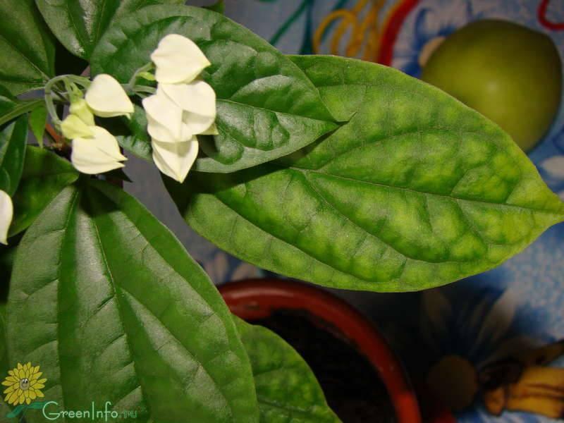 Драцена: желтеют и листья, сохнут кончики листьев — что делать и чем поливать