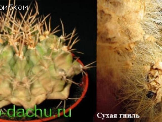 Кактусы: болезни и их лечение