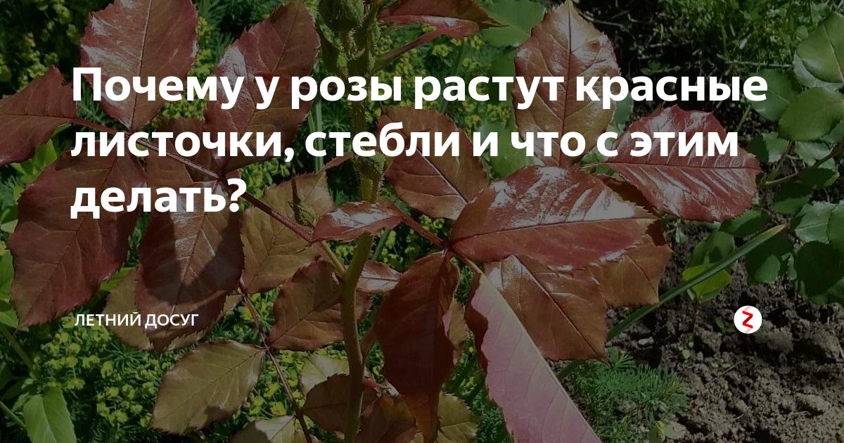 Почему у розы красные листья в саду — причины