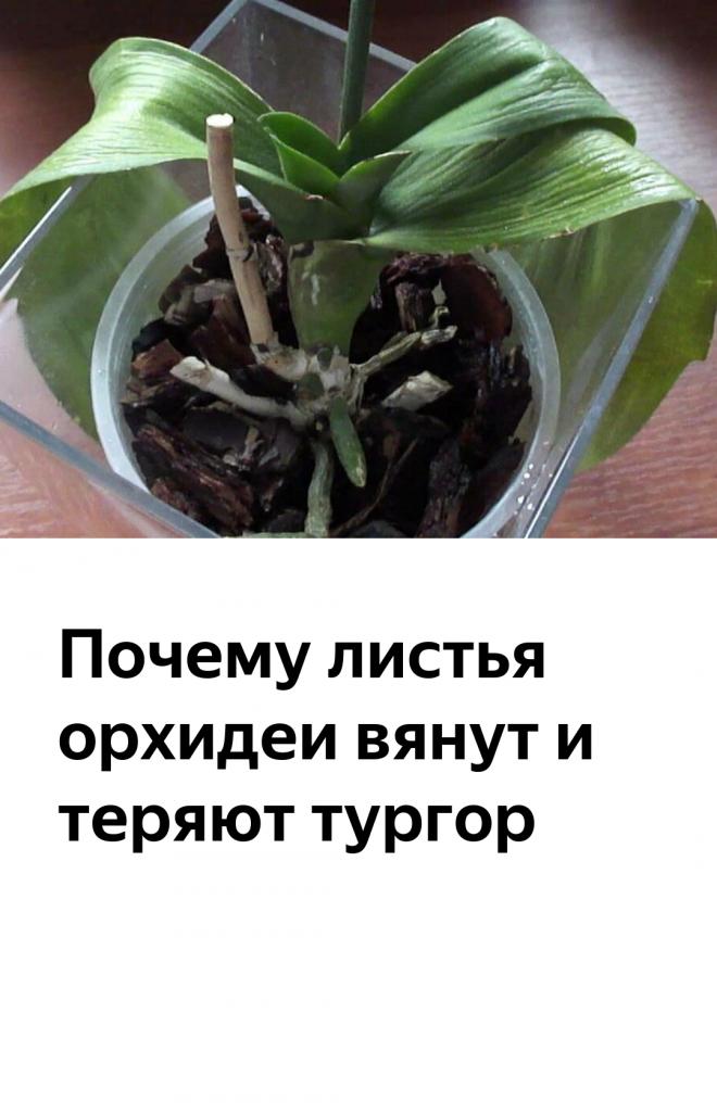 Почему у орхидеи вянут листья: причины и методы борьбы с ними - pocvetam.ru
