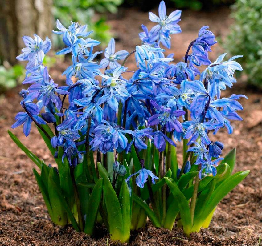 каждого весенние садовые цветы фото и названия старооскольского кирпича цвета