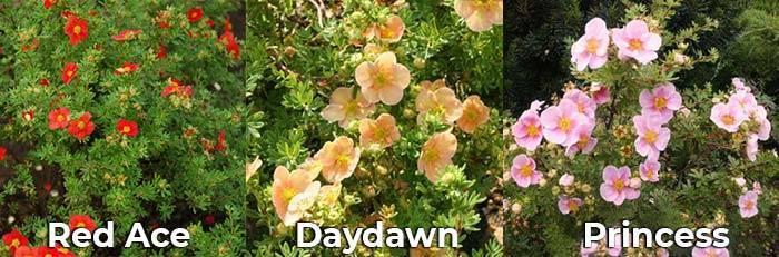 С какими цветами сочетается лапчатка кустарниковая (фото)
