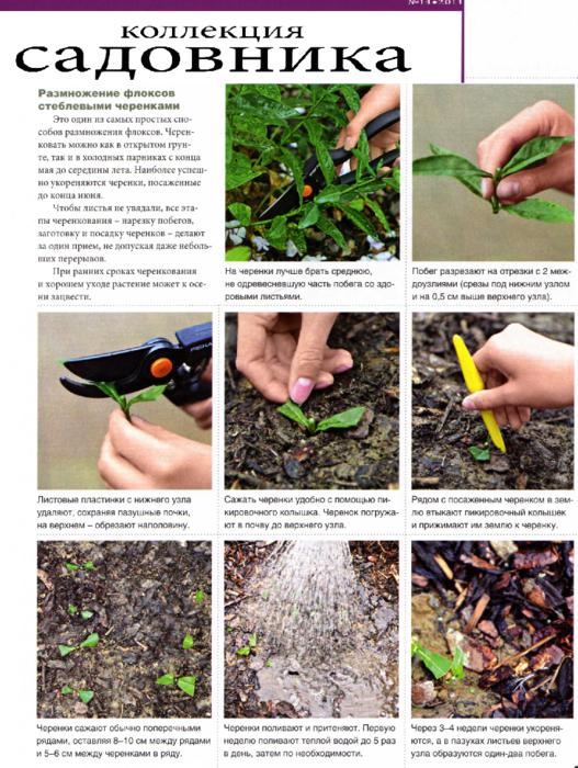 Размножение древовидного пиона — тонкости, сложности, рекомендации