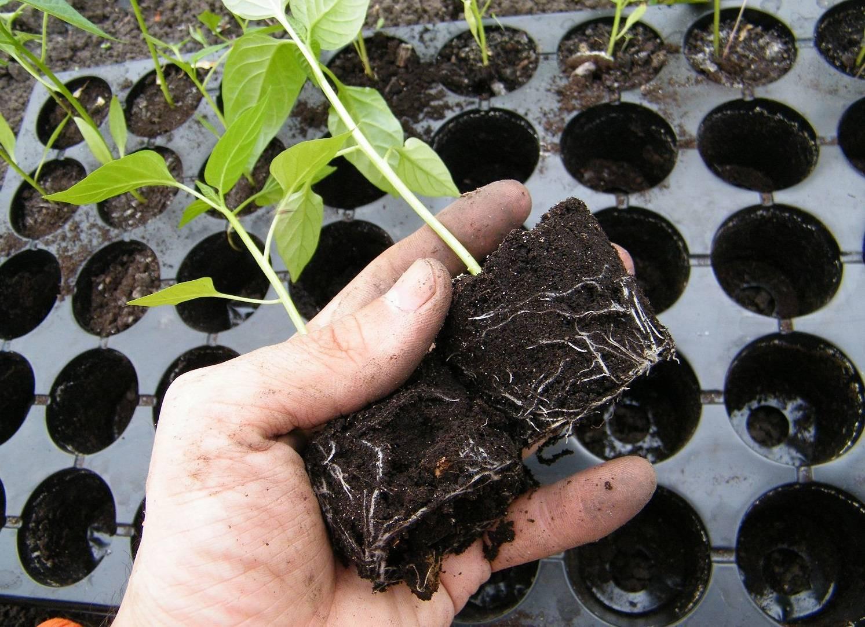 Кларкия изящная: описание сортов с фото, посадка и уход, особенности выращивания из семян