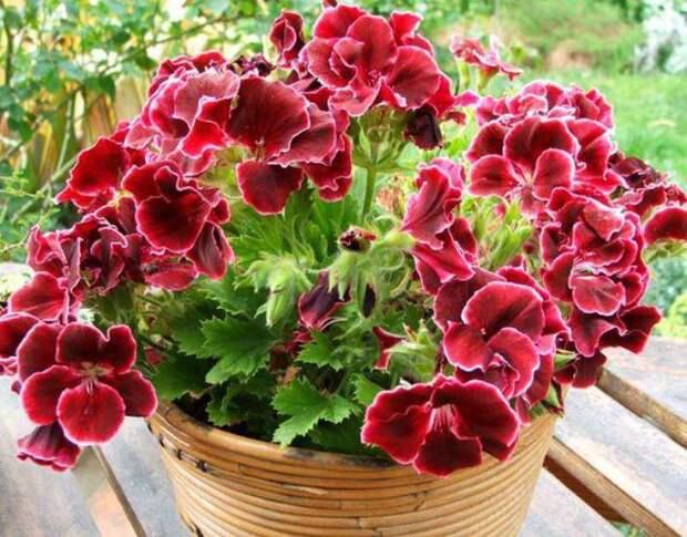 Украшение вашего дома — пеларгония милдфилд роуз: описание с фото, посадка, размножение и уход
