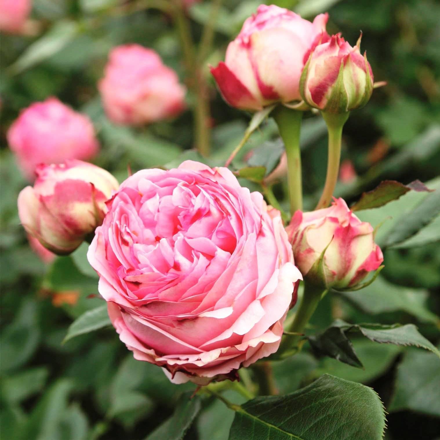 Роза эден роуз (eden rose) — описание и характеристики сорта