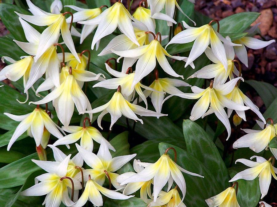 Цветок кандык (эритрониум): описание, посадка и уход