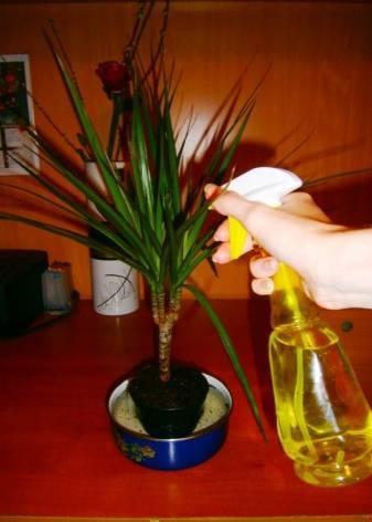 Как поливать драцену? что делать, если ее залили? полив драцены в домашних условиях зимой. сколько раз в неделю нужно ее поливать?