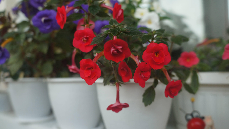 Цветок ахименес, уход и размножение в домашних условиях