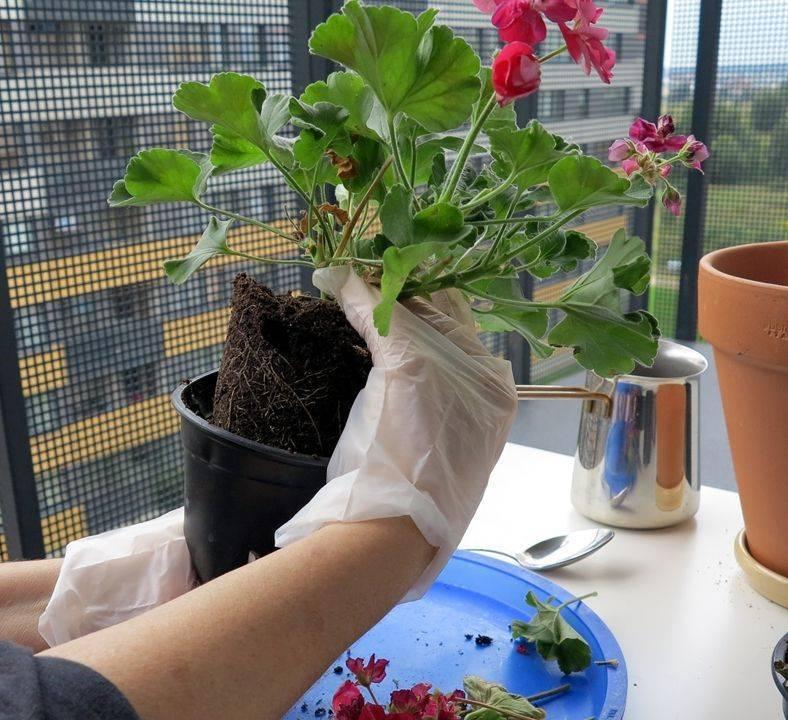 Филодендрон: фото и виды, размножение и уход в домашних условиях