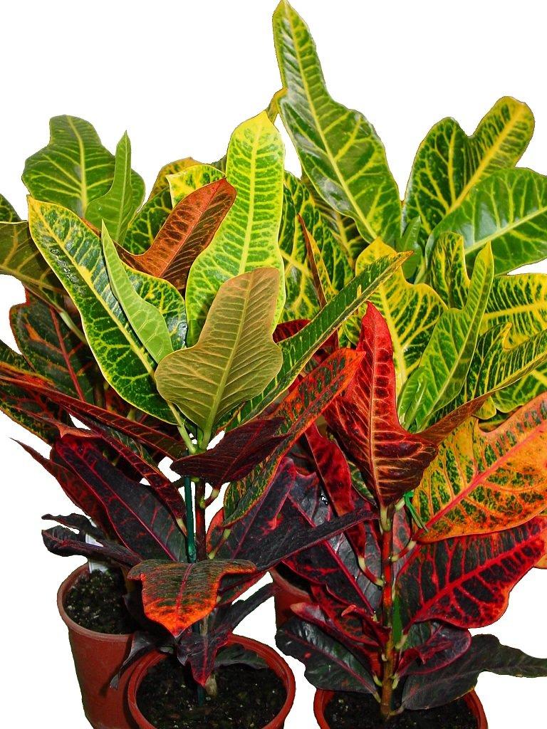 Распространенные виды цветка кротон: особенности выращивания и ухода дома