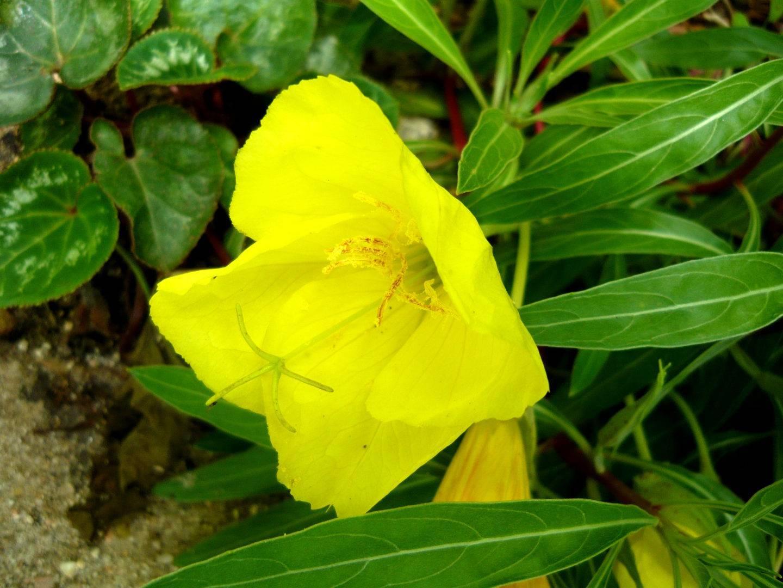 Многолетняя энотера: посадка и уход, фото, выращивание из семян и свойства