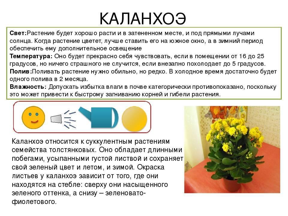 Лечебные свойства каланхоэ: от каких болезней избавит комнатный доктор
