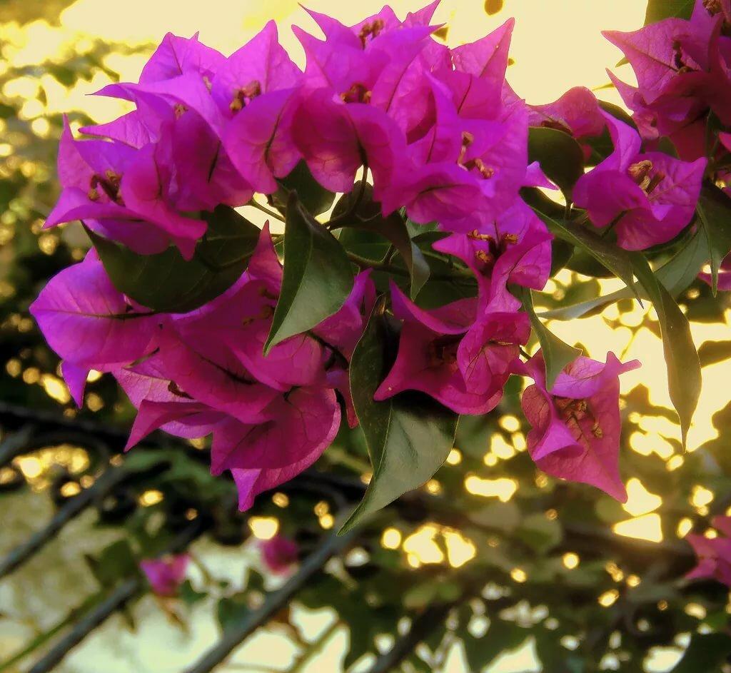 Бугенвиллия: фото и виды, размножение и уход в домашних условиях