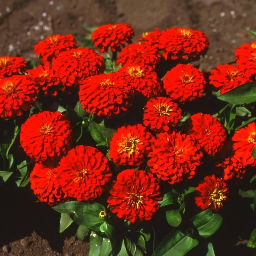Цветок цинния: фото и описание циннии георгиновидной и изящной, выращивание циннии из семян