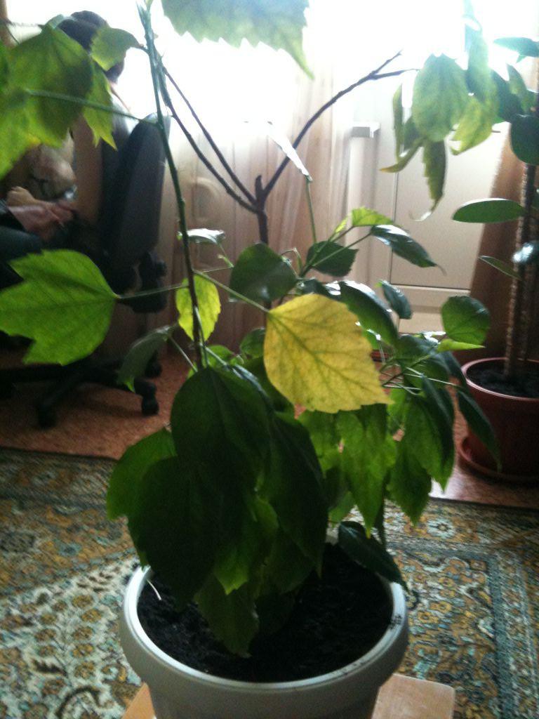 Почему сохнут листья у комнатной розы