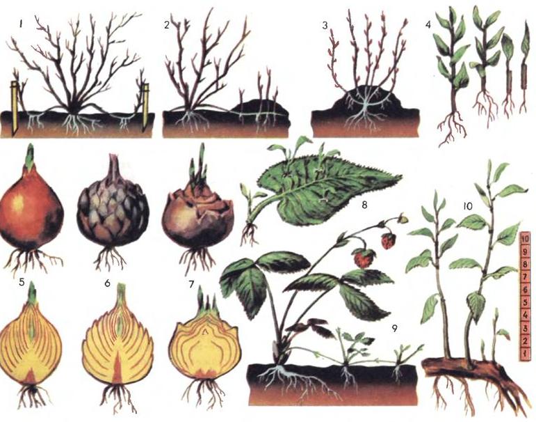 Полисциас: описание, виды и уход за растением