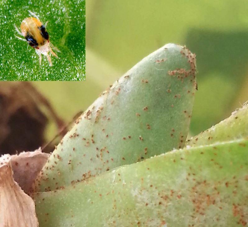 Незваные гости или обзор основных вредителей орхидей