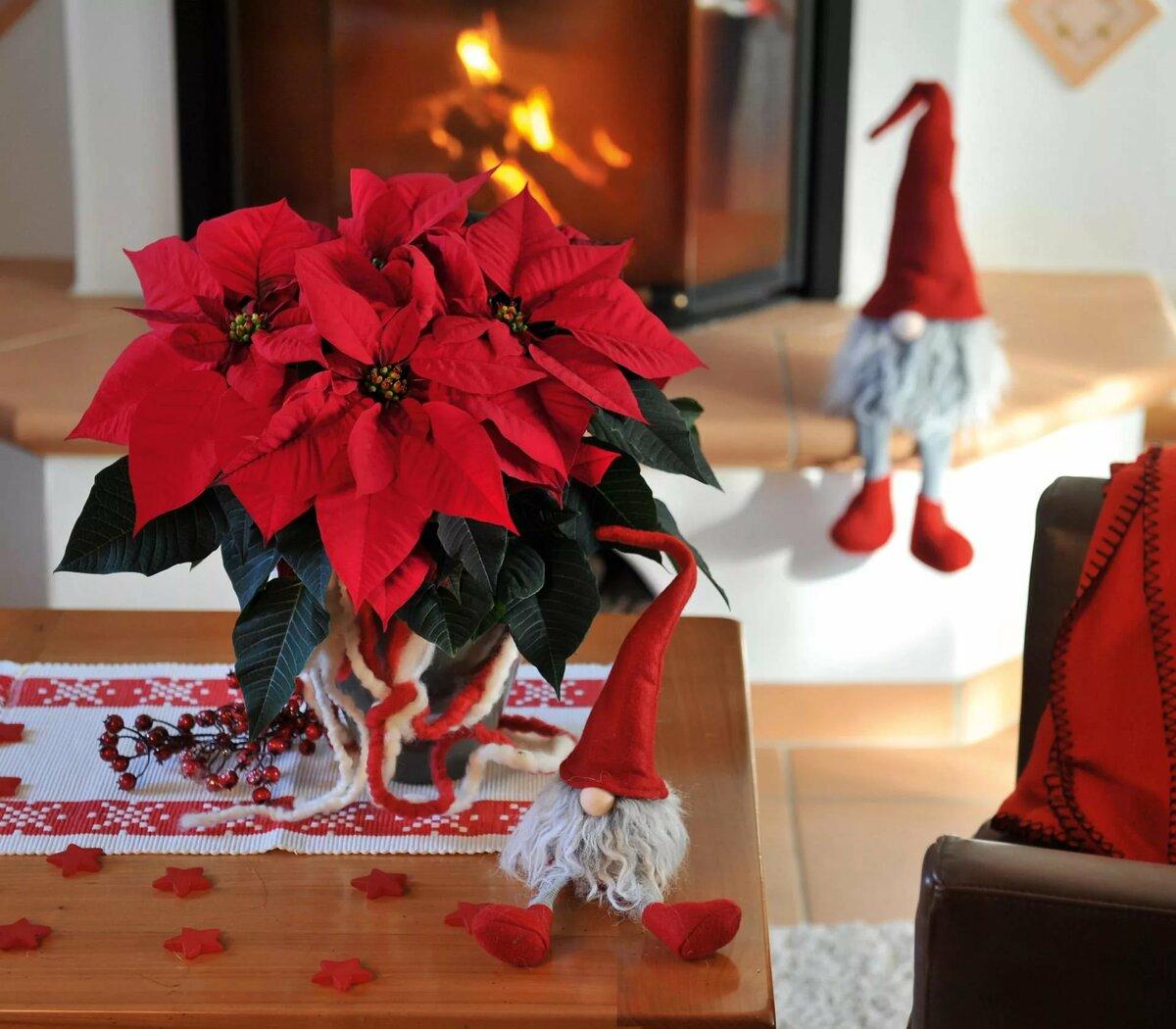 Пуансеттия или рождественская звезда— отличная альтернатива привычной ели