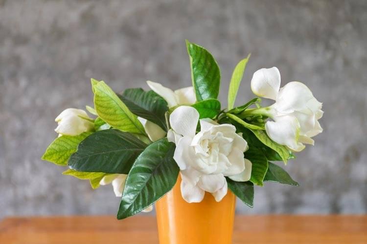 Что такое гардения - комнатный цветок пион или кустарник: описание, уход растениями, размножение, болезни, фото