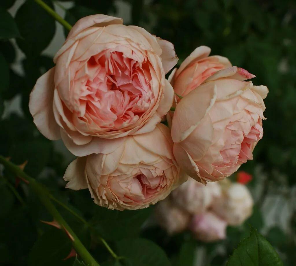Роза вильям моррис (william morris): фото, отзывы, описание, характеристики