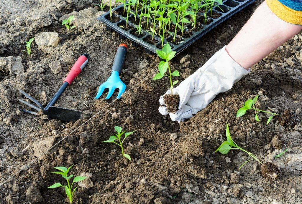 Выращивание астры из семян в домашних условиях - подробная информация!