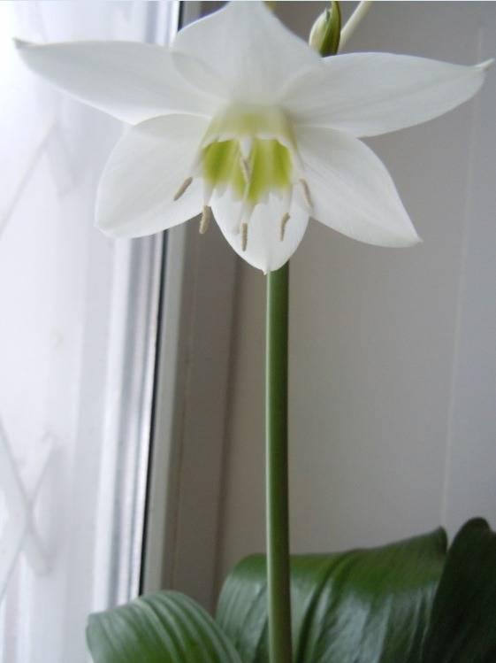 Эухарис — уход в домашних условиях,  почему не цветет